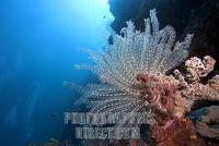 Feather star , Crinoid , ( Comanthina schlegelii ) on a sponge stock photo