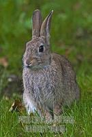 European Wild Rabbit , Dorset , England stock photo