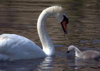 A mute swan offering some food to its cygnet.
