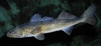 Walleye Sander vitreus