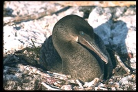 : Phalacrocorax harrisi; Flightless Cormorant