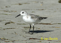 Photo of jespák písečný Calidris alba Sanderling