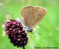 Maculinea nausithous - Dusky Large Blue