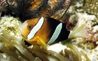 Amphiprion clarkii, Yellowtail clownfish: fisheries, aquarium