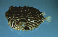 Chilomycterus schoepfii, Striped burrfish: gamefish, aquarium