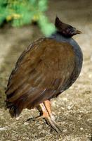 Megapodius reinwardt - Orange-footed Scrubfowl