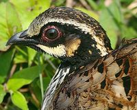 White-cheeked Partridge - Arborophila atrogularis