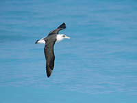 Laysan Albatross (Phoebastria immutabilis) photo