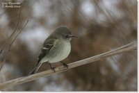 Gray Flycatcher - Empidonax wrightii