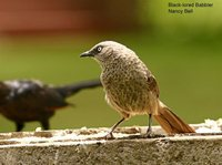 Black-lored Babbler - Turdoides sharpei
