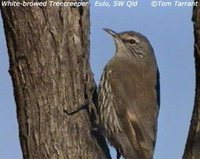 White-browed Treecreeper - Climacteris affinis