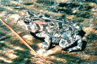 : Bufo terrestris; Southern Toad