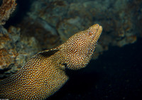 : Gymnothorax meleagris; Whitemouth Moray Eel