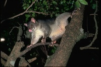 : Trichosurus; Brush-tailed Possums