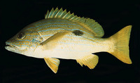 Lutjanus coeruleolineatus, Blueline snapper: fisheries
