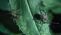 Image of: Coreidae (leaf-footed bugs)