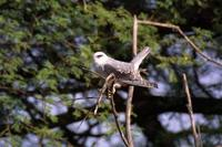 Image of: Elanus caeruleus (black-winged kite)