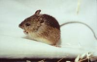 Zapus hudsonius preblei - Preble's meadow jumping mouse