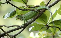 Iguana iguana - Common Green Iguana