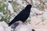 Yellow-billed Chough - Pyrrhocorax graculus
