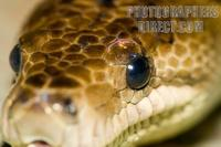 Photo of the head of a Cuban Boa stock photo