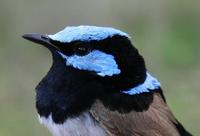 Malurus cyaneus Superb Fairy-wren male