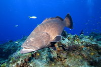 : Mycteroperca bonaci; Black Grouper