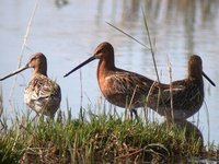 Asian Dowitchers. Achit Nuur, 30 May.