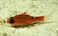 Apogon lachneri, Whitestar cardinalfish: