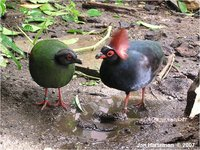Crested Wood Partridge Rollulus roulroul