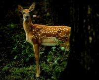 Image of: Odocoileus virginianus (white-tailed deer)