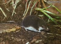 Neomys anomalus - Miller's Water Shrew