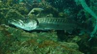 Sphyraena barracuda - Great barracuda