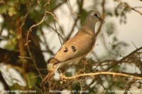 Black-billed Wood-Dove - Turtur abyssinicus