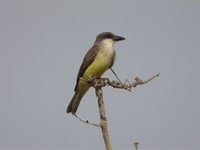 Thick-billed Kingbird - Tyrannus crassirostris