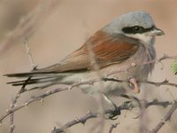Red-backed Shrike - Lanius collurio