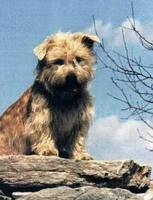 glen-of-imaal-terrier-picture