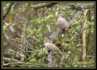 Bare-faced Ground-Dove 2