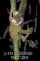 ...Leaf tailed gecko ( Uroplatus ) hanging onto bamboo shoot with one foot , Nosy Mangabe , Madagas