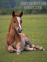 New Forest Foal , Hampshire , England stock photo
