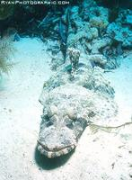 Crocodile Fish - Cymbacephalus beauforti