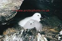 FT0149-00: Snow Petrel, Pagodroma nivea, with its downy grey chick at the nest. Antarctica