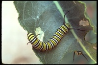 : Danaus gilippus ssp. strigosus; Striated Monarch Butterfly