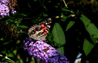 : Vanessa virginiensis; American Painted Lady