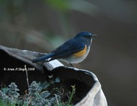 Orange-flanked Bush Robin » Tarsiger cyanurus