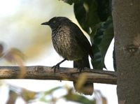 ヤモンヤブチメドリ Arrow-marked Babbler Turdoides jardineli