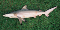 Carcharhinus limbatus, Blacktip shark: fisheries, gamefish