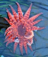 Pycnopodia helianthoides - Sunflower star