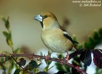 Coccothraustes coccothraustes - Hawfinch