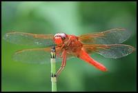 Image of: Libellula croceipennis